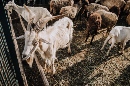 goats and herd of sheep grazing in corral at farm