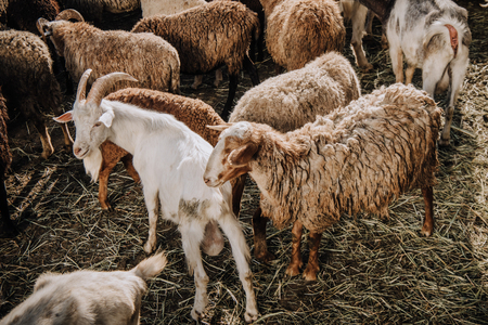 goat and herd of sheep grazing in corral at farm