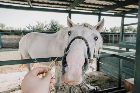 partial view of man feeding white horse in stable at farm