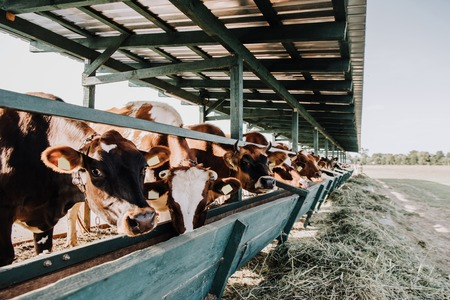brown domestic beautiful cows eating in stall at farm