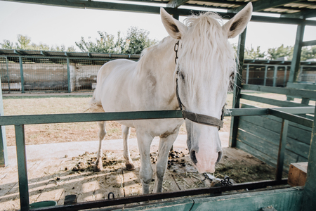 beautiful white horse standing in stable at farm Stockfoto