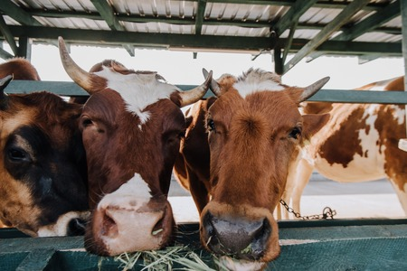 close up view of brown domestic cows eating hay in barn at farm