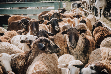 close up view of herd of adorable brown sheep grazing in corral at farm Фото со стока