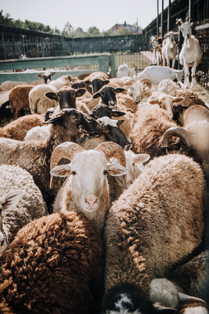 herd of adorable brown sheep grazing in corral at farm