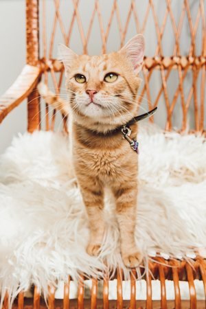 adorable red cat standing on rocking chair and looking up Standard-Bild - 109023619
