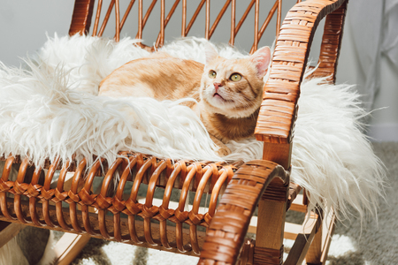 adorable red cat lying on rocking chair and looking up Standard-Bild - 109023794