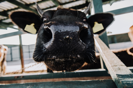 close up view of muzzle of adorable calf standing in barn at farm Stock Photo