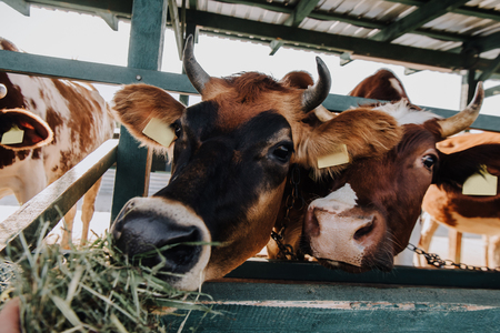 brown domestic cows eating hay in stall at farm