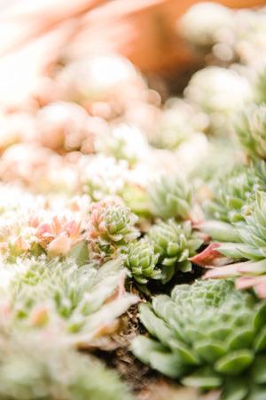 close-up shot of beautiful sempervivum plants