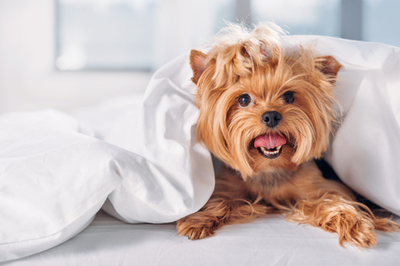 close up view of cute little yorkshire terrier lying on bed covered with blanket Stock Photo