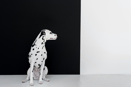 one cute dalmatian dog sitting near black and white wall and looking away Reklamní fotografie - 109488080