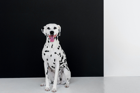 one cute dalmatian dog sitting near black and white wall with open mouth Standard-Bild