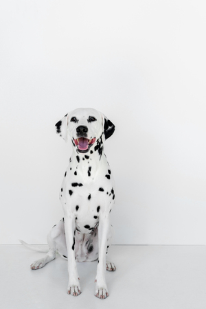 one cute dalmatian dog sitting near white wall