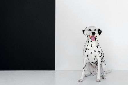 one cute dalmatian dog sitting near black and white wall Reklamní fotografie - 109488085