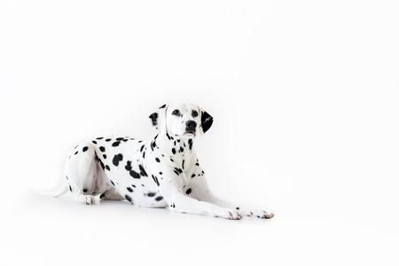 one cute dalmatian dog lying isolated on white