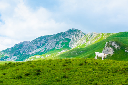 white cow grazing on green valley in Durmitor massif, Montenegro