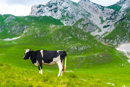 cow grazing on green valley in Durmitor massif, Montenegro Stock Photo