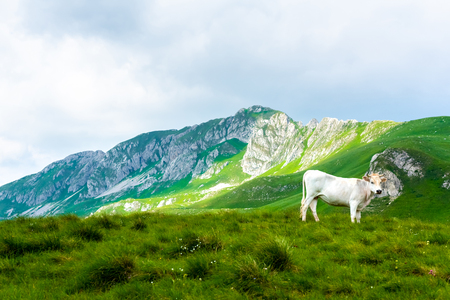 white cow standing on green valley in Durmitor massif, Montenegro Фото со стока