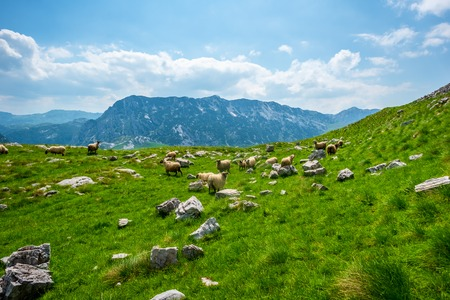 flock of sheep grazing on valley with small stones in Durmitor massif, Montenegro