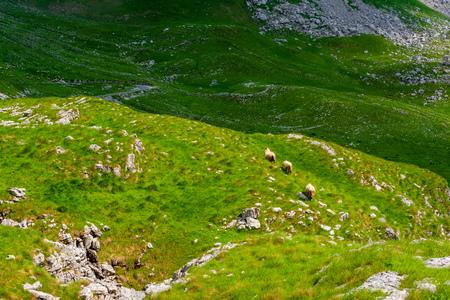 three sheep walking on valley in Durmitor massif, Montenegro Фото со стока