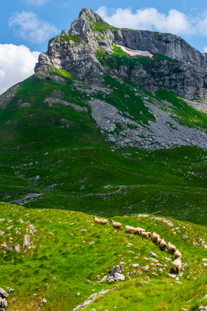 flock of sheep walking on valley in Durmitor massif, Montenegro Stock Photo