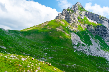 flock of sheep grazing on valley with rocky mountains of background in Durmitor massif, Montenegro