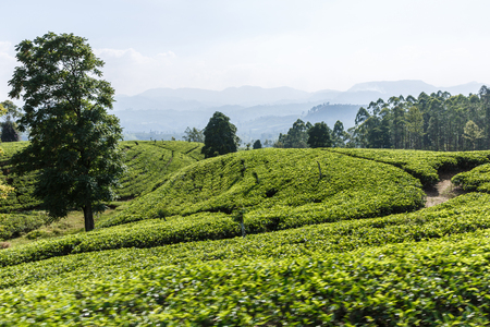 beautiful scenic view of green field with plantations with plants and blue sky, sri lanka, horton plains Reklamní fotografie