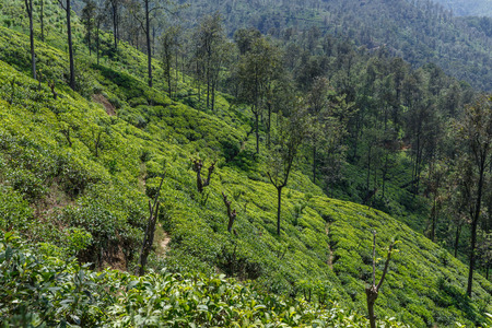 ELLA, SRI LANKA - JAN 17, 2017: scenic view of hills covered with green plants in Asia