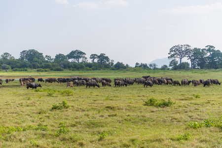 scenic view of heard of wild bulls in natural habitat on field, sri lanka, minerriya