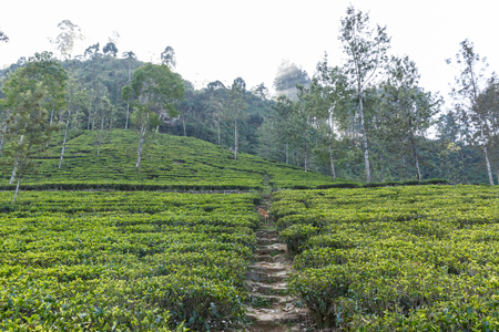 Scenic view of path on tea plantation covered with green grass and trees, sri lanka, nuwara eliya