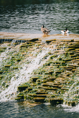 two beautiful ducks sitting on dam in river at park Reklamní fotografie