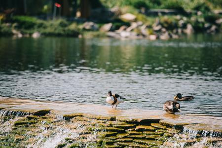 three ducks sitting on dam in river at park Banco de Imagens