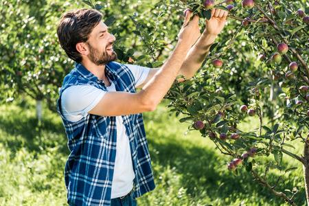 handsome smiling farmer touching apple on tree in garden
