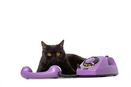studio shot of black british shorthair cat laying near telephone and looking at camera isolated on white background