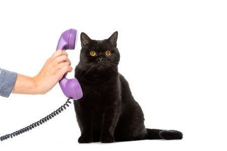 partial view of woman giving telephone tube to cute black british shorthair cat isolated on white background Foto de archivo - 110899897