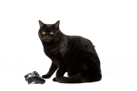 studio shot of black british shorthaircat near joystick for video game isolated on white background