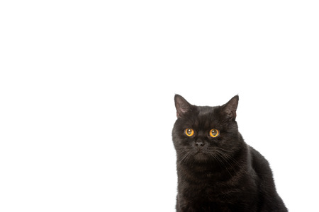 black british shorthair cat isolated on white background Banque d'images