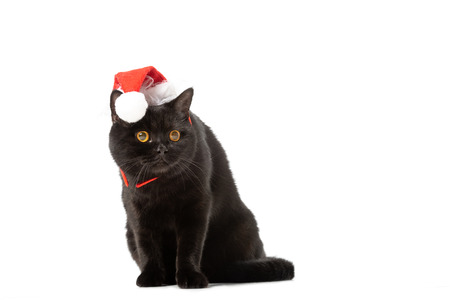 black british shorthair cat in christmas hat isolated on white background Stock Photo