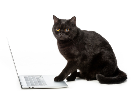 adorable black british shorthair cat using laptop isolated on white background Banque d'images