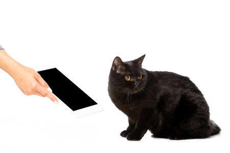 cropped image of woman giving digital tablet with blank screen to black shorthair british cat isolated on white background Standard-Bild - 112349601