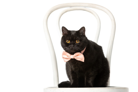 adorable black british shorthair cat in pink bow tie sitting on chair isolated on white background Banque d'images - 110900056