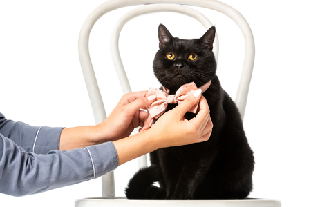 woman adjusting bow tie on black british shorthair cat on chair isolated on white background Standard-Bild - 110900062