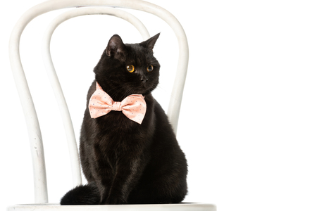 cute black british shorthair cat in pink bow tie sitting on chair isolated on white background Banque d'images