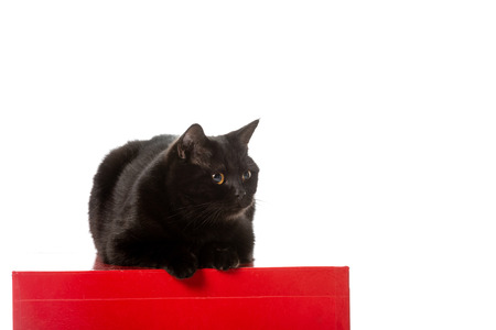 cute black british shorthair cat siting on red cube isolated on white background
