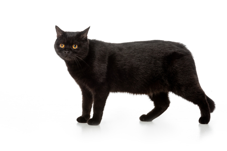 adorable black british shorthair cat standing isolated on white background