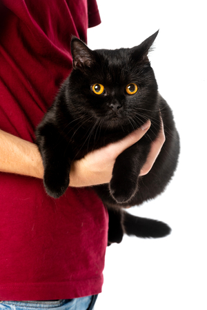 cropped image of man holding cute black british shorthair cat looking at camera isolated on white background