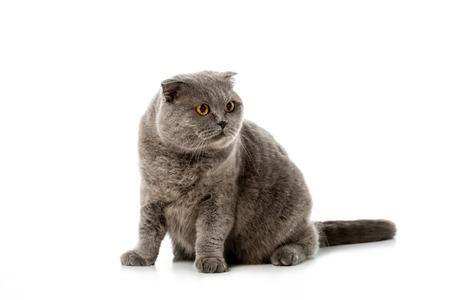 studio shot of grey british shorthair cat looking away isolated on white background Standard-Bild - 111567669