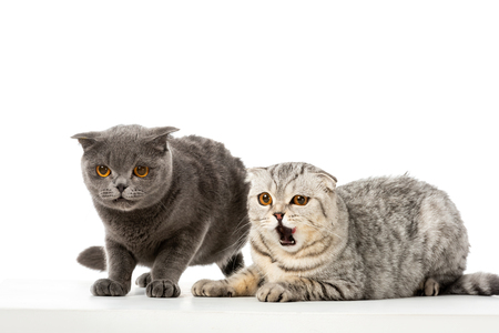 striped british shorthair cat yawning near grey british shorthair cat isolated on white background Standard-Bild - 110823834