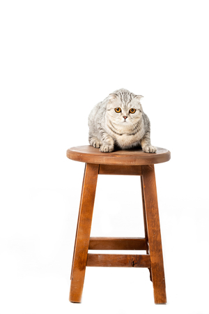 cute striped british shorthair cat sitting on wooden chair isolated on white background
