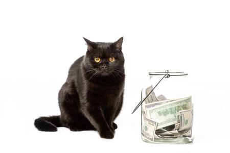 black british shorthair cat near jar with cash money isolated on white background